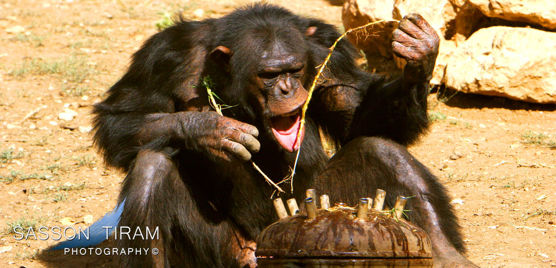 Chimpanzee monkey eats honey at the biblical Zoo in Jerusalem
