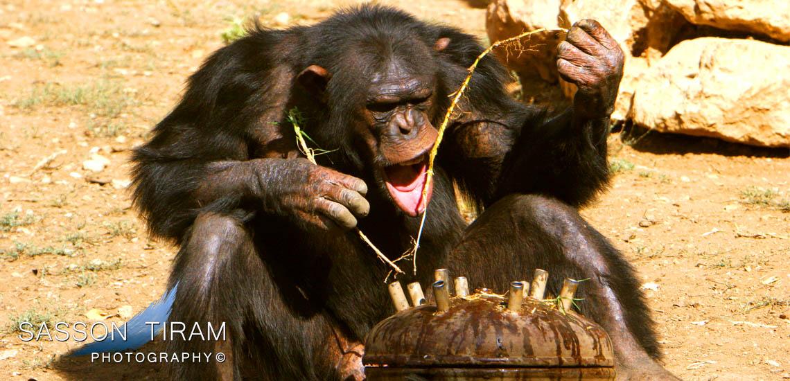 Chimpanzee monkey eats honey at the biblical Zoo in Jerusalem