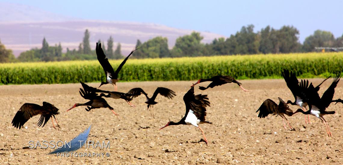 Black storks in the Beit She'an Valley kibbutzim