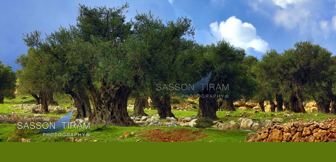 Olive trees near Jerusalem